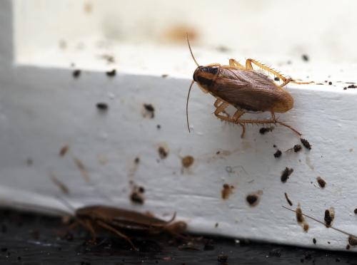 Kakerlakenbekämpfung