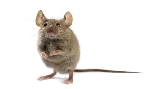 Mäusebefall