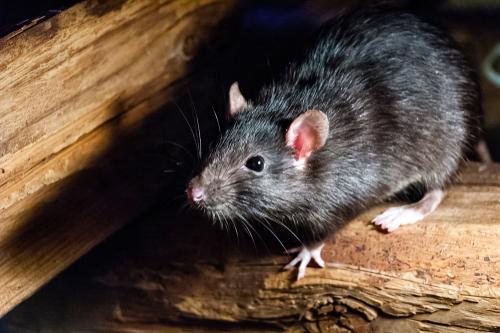 Rattenbefall