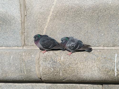 Taubenbefall