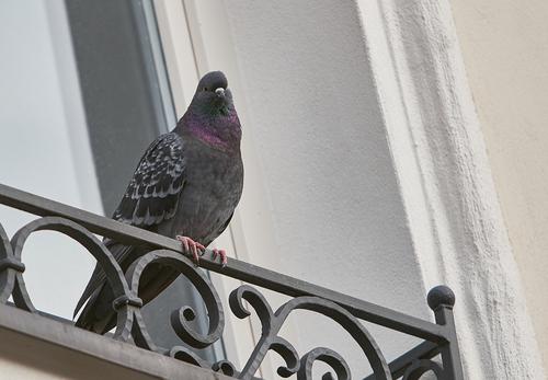Taubenbekämpfung